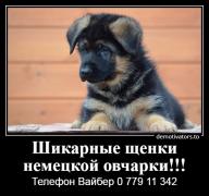 Продается щенок немецкой овчарки Bender mun.