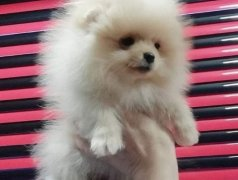 Pomeranian Spitz Mini Кишинёв мун.