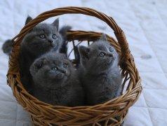 Шотландские котята Кишинёв мун.