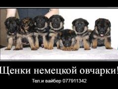Предлагаются к продаже щенки немецкой овчарки доставка из г.Бендеры мун.