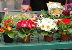 Muncitori necalificați la cultivarea florilor Кишинёв мун.